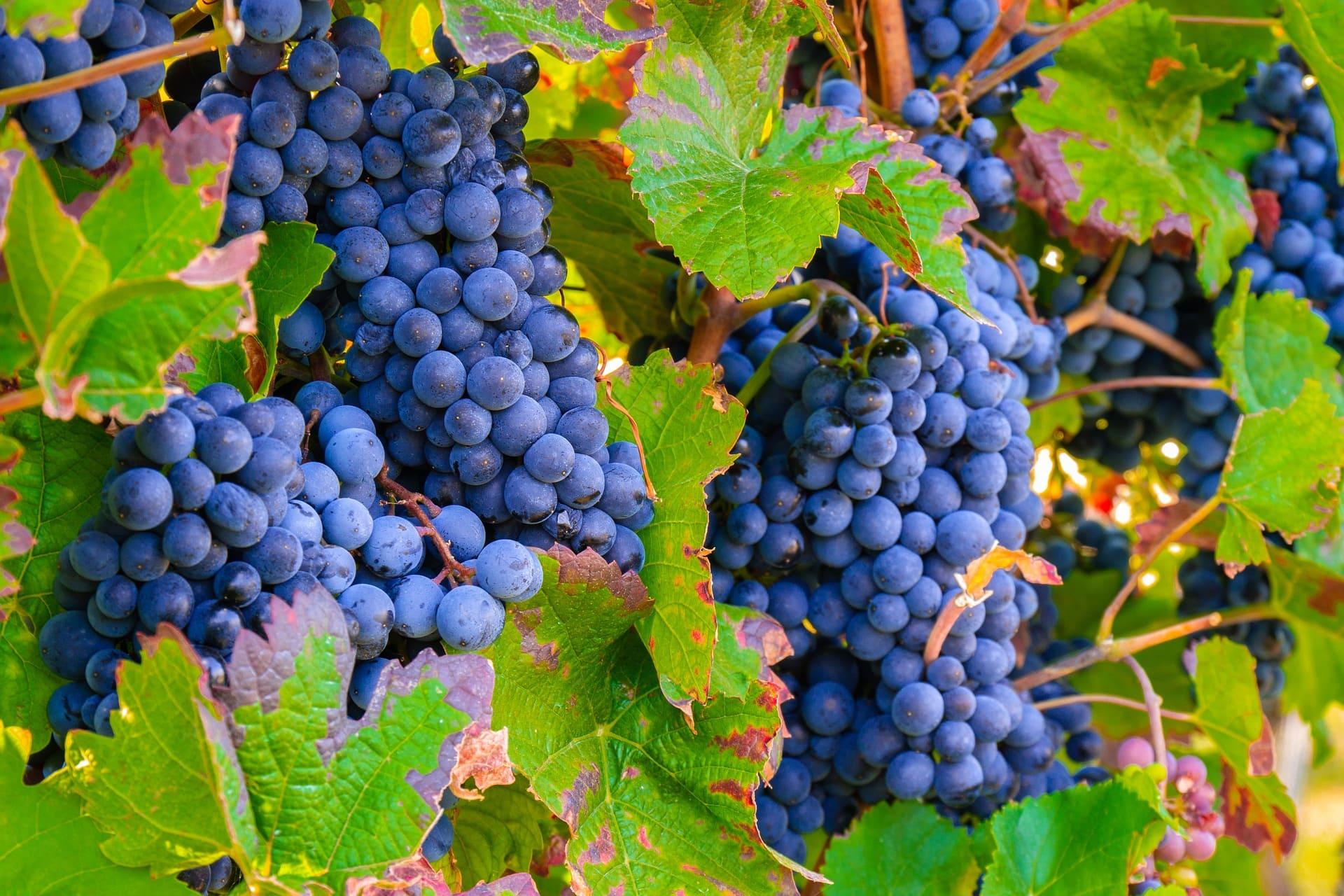 vigne-vignoble-raisins.jpg